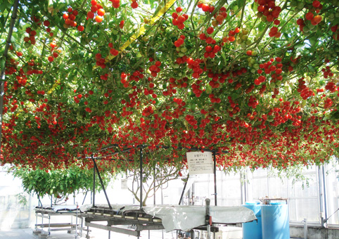 tomato by horizontal planting culuture