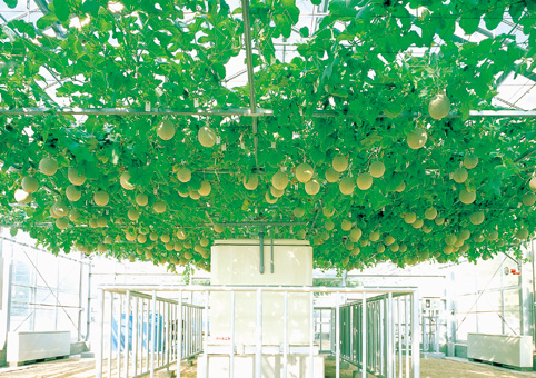 melon by horizontal planting culuture
